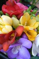 Freesia for Guernsey in Bloom apartment